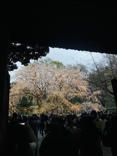 【近隣情報】桜を見るなら変なホテル浅草橋へ