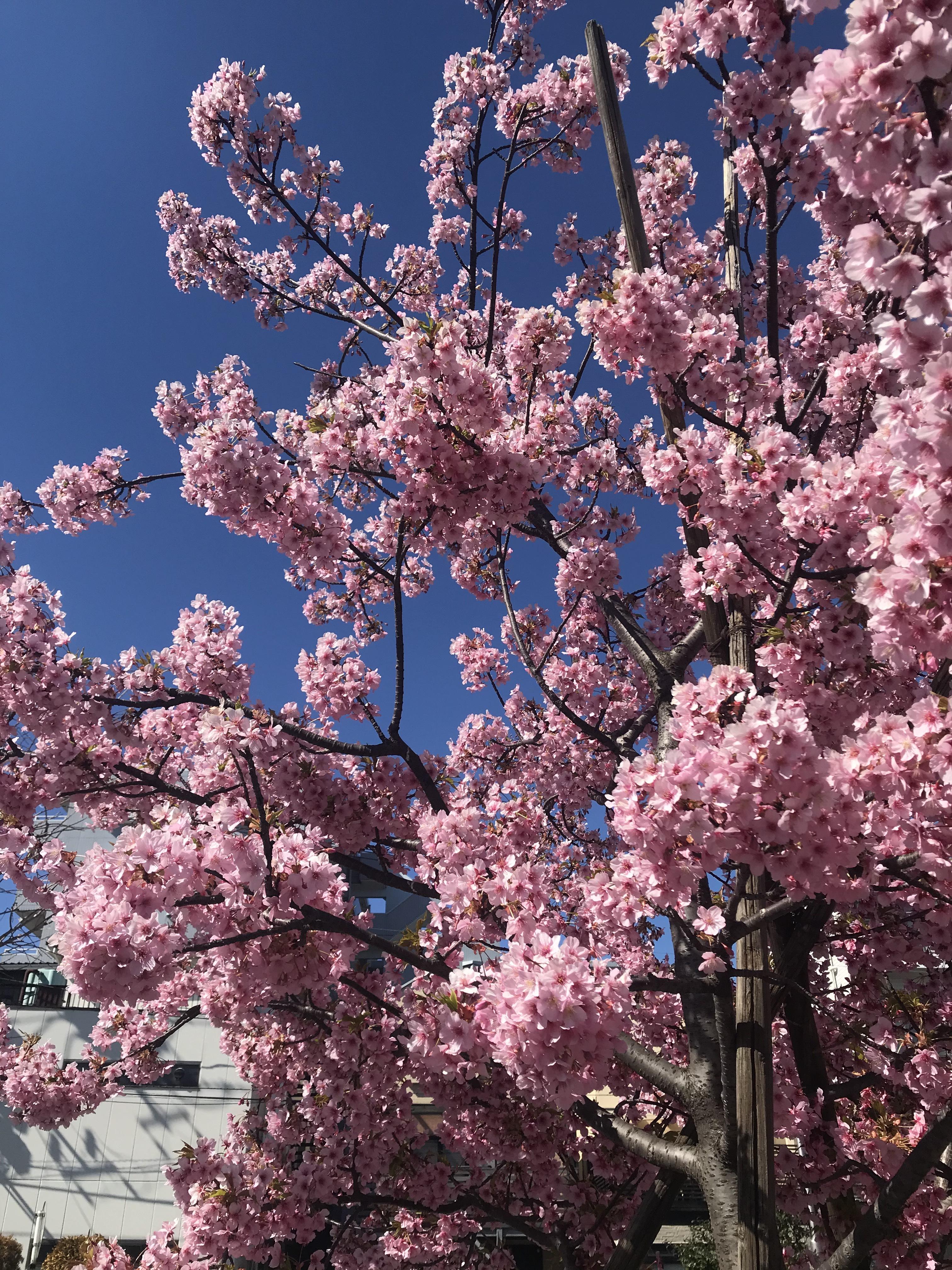 桜の季節(#^.^#)