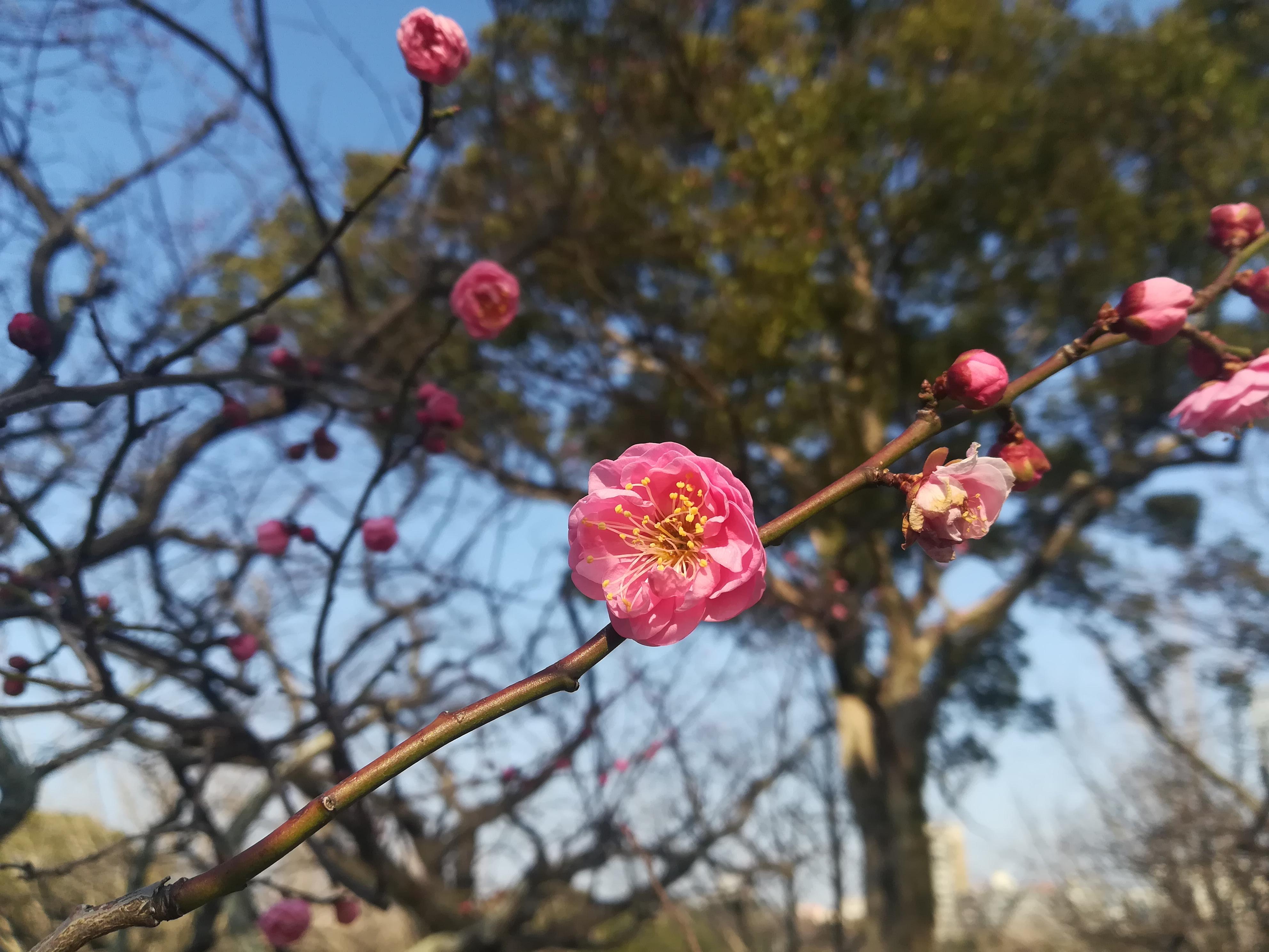 【観光情報】福岡城跡 梅開花