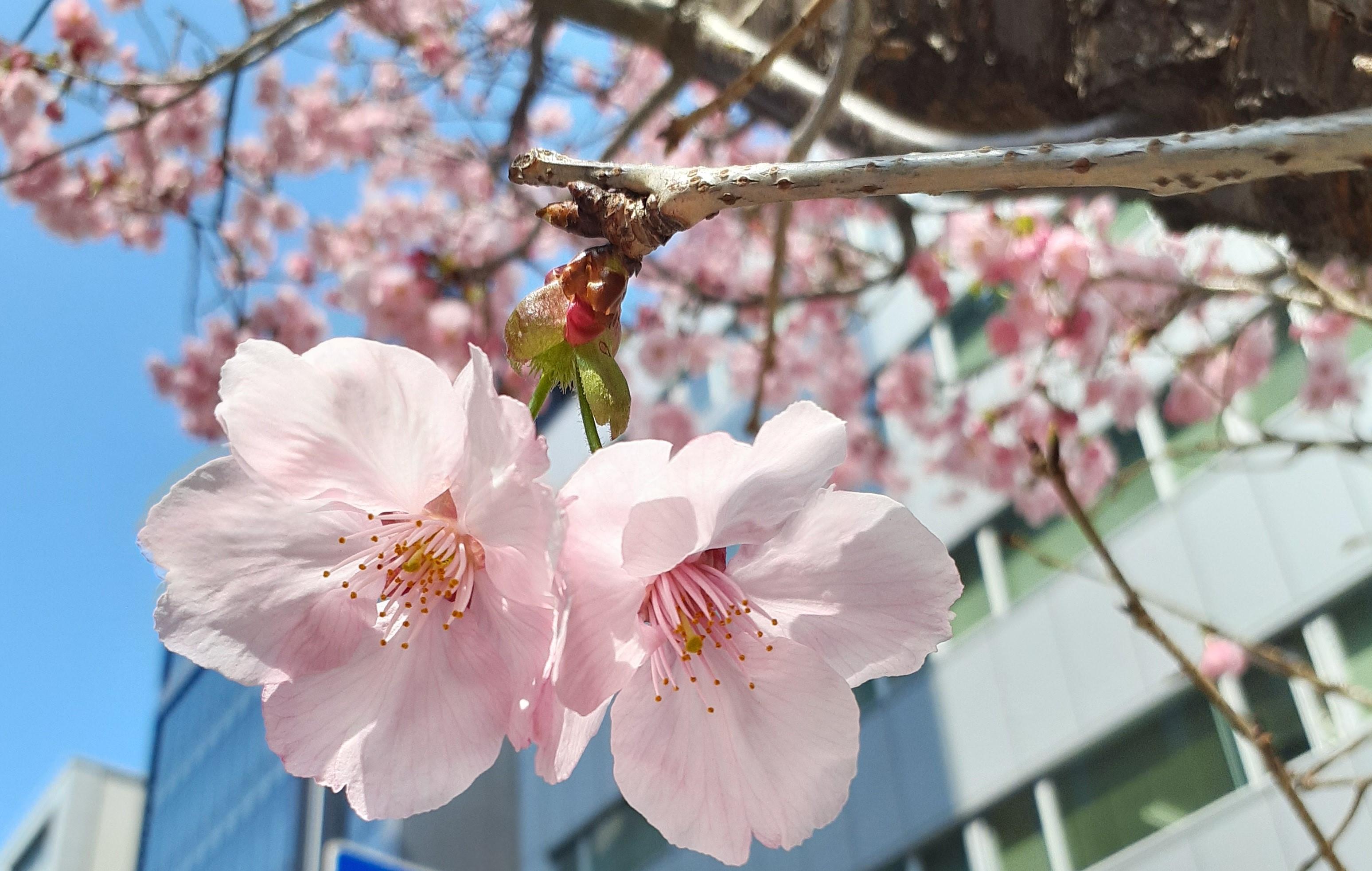 【観光情報】サクラ開花
